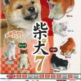 柴犬7(50個入り)